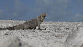Cuban rock iguana stock video footage