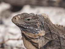 Cuban rock iguana (Cyclura nubile). Close up of an iguana Caribbean during the changing of the skin Stock Photos