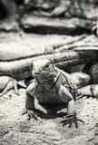 Cuban rock iguana - Cyclura nubile, colorless. Close up photo of Cuban rock iguana - Cyclura nubile. Lizard scene. Animal care. Beauty in nature. Black and white Stock Photography