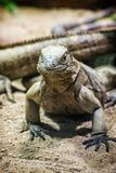Cuban rock iguana - Cyclura nubile, lizard scene. Close up photo of Cuban rock iguana - Cyclura nubile. Lizard scene. Animal care. Beauty in nature Royalty Free Stock Photo