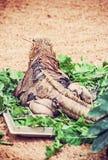 Cuban rock iguana - Cyclura nubile, lizard scene. Close up photo of Cuban rock iguana - Cyclura nubile. Lizard scene. Animal care. Beauty in nature. Rear view Royalty Free Stock Photos
