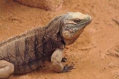 Cuban rock iguana Stock Photos