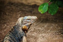 Cuban rock iguana. Portrait of a Cuban rock iguana royalty free stock photography