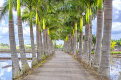 Cuban Royal Palm Trees Planted Along A Rural Road Royalty Free Stock Photography