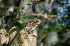 Cuban Screech-owl Gymnoglaux lawrencii at roost site Royalty Free Stock Images
