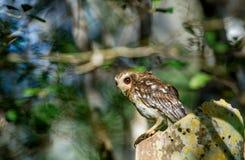 Cuban Screech-owl Gymnoglaux lawrencii at roost site Stock Image