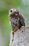 Cuban Screech-owl  in Tree Hole Royalty Free Stock Photo