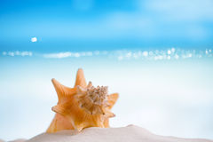 Cuban sea  shell on white Florida beach sand. Cuban shell on white Florida beach sand under sun light, shallow dof Royalty Free Stock Photos