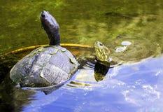 Cuban slider, turtle native to Cuba - Peninsula de Zapata National Park / Zapata Swamp, Cuba. Cuban slider / Trachemys decussata, turtle native to Cuba royalty free stock photos
