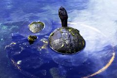 Cuban slider, turtle native to Cuba - Peninsula de Zapata National Park / Zapata Swamp, Cuba. Cuban slider / Trachemys decussata, turtle native to Cuba royalty free stock photo