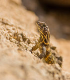 Cuban Striped Curly-tailed Lizard Stock Image