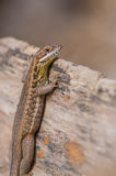 Cuban Striped Curly-tailed Lizard Royalty Free Stock Photo