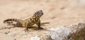 Cuban Striped Curly-tailed Lizard Royalty Free Stock Images