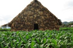 Cuba: Tabacco drying hut in Vinales. Cuban tabacco plant in Vinales and the typical driyng hut. Here are some of the world finest cigars growing royalty free stock images