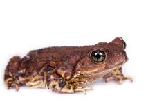 The cuban toad, Bufo empusus, on white Stock Photos