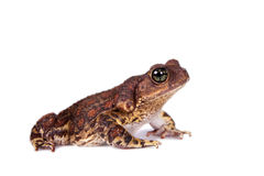 The cuban toad, Bufo empusus, on white. The Colorado River or Sonoran Desert toad, Incilius alvarius, on white stock photos