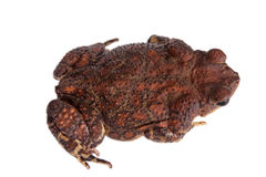 The cuban toad, Bufo empusus, on white Royalty Free Stock Image