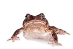 The cuban toad, Bufo empusus, on white. The Colorado River or Sonoran Desert toad, Incilius alvarius, on white Stock Image