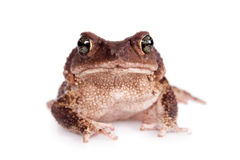 The cuban toad, Bufo empusus, on white. The Colorado River or Sonoran Desert toad, Incilius alvarius, on white stock photo