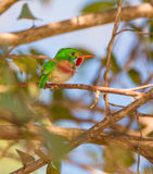Cuban Tody. The Cuban Tody (Todus multicolor) is a cuban endemic species and among the most beautiful and colorful of the world royalty free stock photography