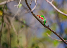 Cuban Tody Stock Image