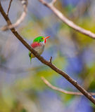 Cuban Tody on a branch Royalty Free Stock Photography