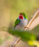 Cuban Tody on a branch. The Cuban Tody (Todus multicolor) is a cuban endemic species and among the most beautiful and colorful of the world. It likes to sit royalty free stock photos