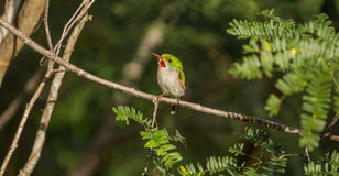 Cuban Tody on a branch Royalty Free Stock Images