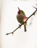 Cuban Tody on a branch Stock Image