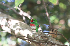 Cuban tody in Cuba Stock Photos
