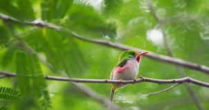 Cuban Tody (Todus multicolor) endemic species Stock Photo