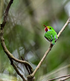Cuban Tody (Todus multicolor) Stock Images