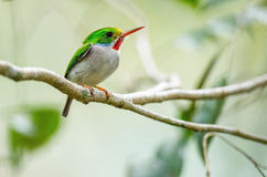 Cuban Tody, Todus multicolor, an endemic species of Cuba.  royalty free stock images