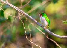 Cuban Tody under the sunshine Stock Photo