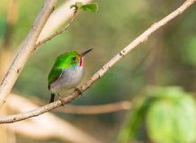 Cuban Tody under the sunshine. A Cuban Tody (Todus multicolor) perches on a branch under the sunshine, it is an endemic species to the island of Cuba and of it's royalty free stock image