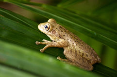 Cuban tree frog. Close up of a cuban tree frog clinging onto palm tree fronds Royalty Free Stock Photos