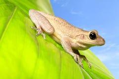 Cuban Tree Frog on Backlit Green Leaf. A cuban tree frog on a backlit green leaf with blue sky Stock Photo