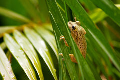 Cuban tree frog climbing. Close up of a cuban tree frog clinging onto palm tree fronds Stock Photography