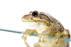 Cuban Tree Frog Invading. Cuban Tree Frog (Osteopilus septentrionalis), an invasive species in the United States, climbs over a glass wall. Conceptualizing the Stock Photography