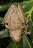 Cuban tree frog. royalty free stock image