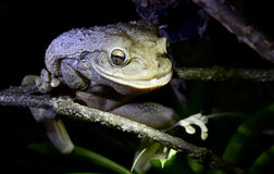 Cuban Tree Frog at night . Royalty Free Stock Photo