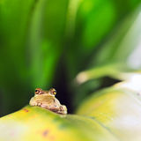 Cuban Tree Frog (Osteopilus Septentrionalis). On a leaf Stock Photography