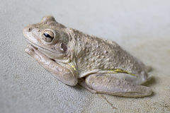 Cuban Tree Frog-Osteopilus septentrionalis Royalty Free Stock Photos