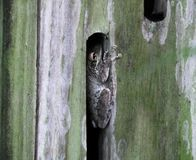 Cuban Tree Frog Osteopilus septentrionalis. Cuban Tree Frog sleeping in a butterfly shelter Stock Photo