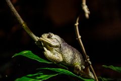 The Cuban tree frog ( Osteopilus septentrionalis ) Royalty Free Stock Images
