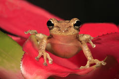 Cuban Tree Frog Perched on a Bromeliad Stock Image