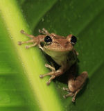 Cuban Tree Frog Perched on a Rain Soaked Green Leaf. A Cuban Tree Frpg Perched on a Large Green Leaf After a Rain Storm Royalty Free Stock Images