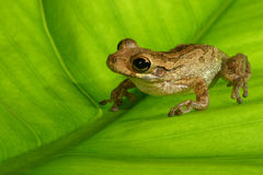 Cuban treefrog on backlit green leaf Royalty Free Stock Photos