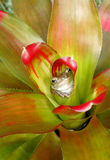 Cuban Treefrog  Hiding in a Bromeliad. A Cuban treefrog hiding in a colorful bromeliad Stock Image