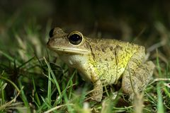 Cuban Treefrog Osteopilus septentrionalis in grass. Night shooting. Everglades National Park, Florida, US stock photo